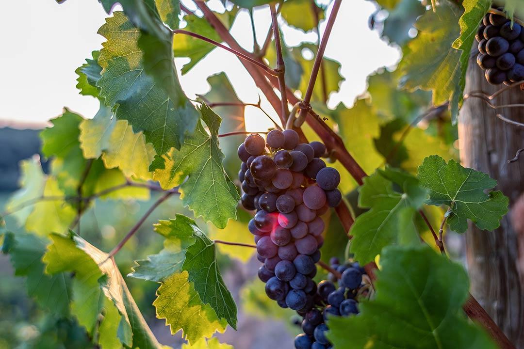 Thüringer Weingut Zahn Großheringen