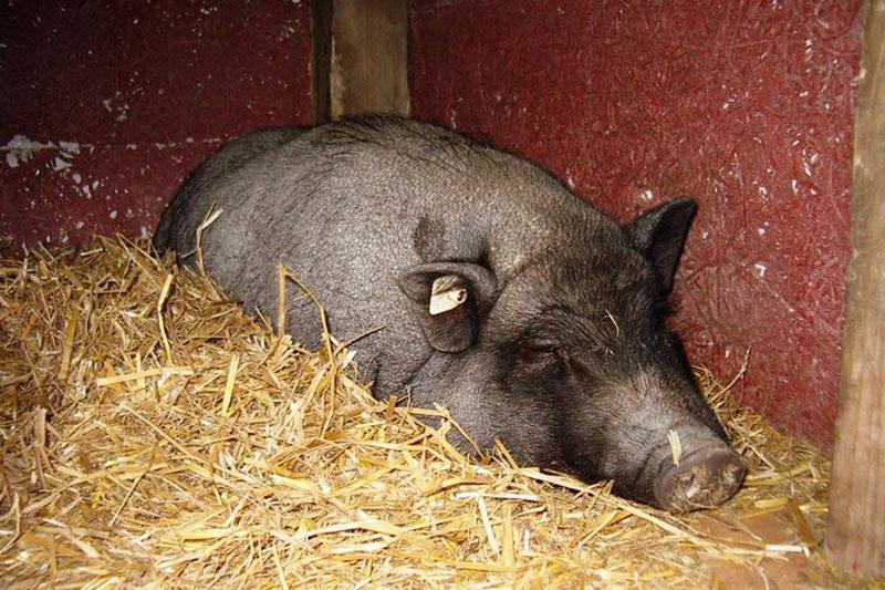 Gasthaus & Pension Bärenhügel Schwein