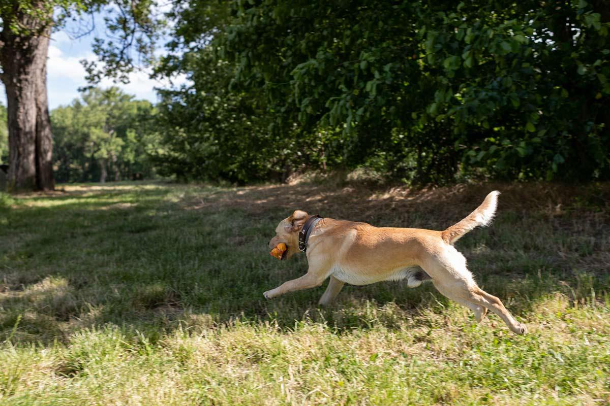 Ein Hund läuft mit Spielzeug im Maul über eine Wiese